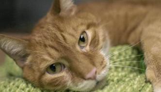 Tiger Tim, il gatto abbandonato per un divano