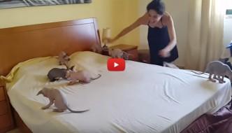 Piccoli Sphynx invadono il letto [VIDEO]