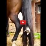 Gattino si arrampica sulla coda di un cavallo [VIDEO]