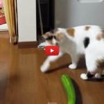 Non temere gatto, è solo un cetriolo! [VIDEO]