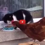 Gallina coraggiosa ruba cibo al gatto [VIDEO]