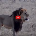 L'assassino di Cecil voleva uccidere anche un elefante