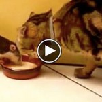 Topo dispettoso ruba latte al gatto [VIDEO]