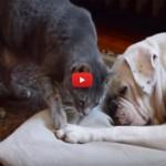 Il gatto vuole svegliare il cane per giocare, ma si arrende [VIDEO]