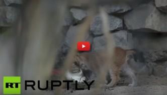 Mamma gatta adotta un cucciolo di lince abbandonato [VIDEO]