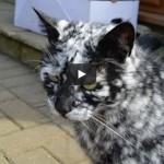 Scrappy, il meraviglioso gatto con la vitiligine [VIDEO]