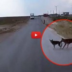 Cane salva l'amico dall'impatto con un camion [VIDEO]