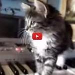Gattino tastierista compone musica psichedelica [VIDEO]