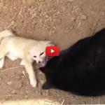Il gatto e la volpe, storia di una tenera amicizia [VIDEO]