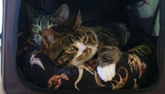 Elfie e Gimli, i gatti nani che hanno conquistato il web
