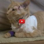 Opie, il gatto eroe che si è beccato una pallottola [VIDEO]