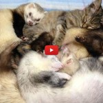 La gatta Komari adottata da 6 furetti [VIDEO]
