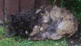 Il gatto Shrek rischia la vita a causa del suo pelo