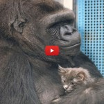 Il gorilla Koko adotta dei gattini [VIDEO]