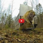La gioia della tigre rimessa in libertà [VIDEO]