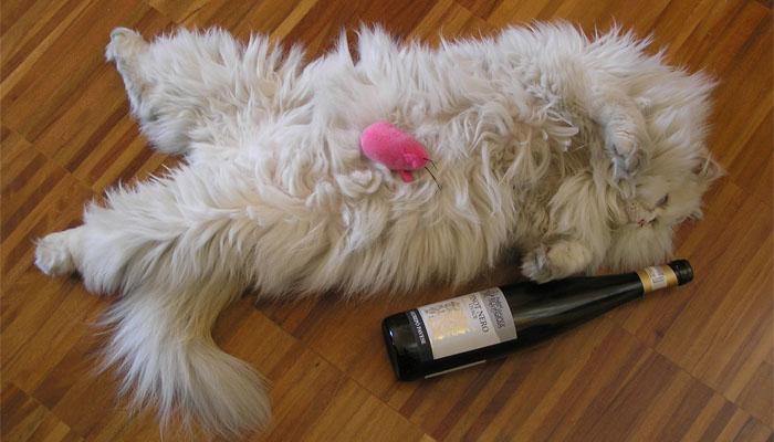 Resta Chiuso In Una Cantina Gatto Ubriaco