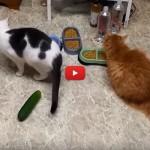 Sfatiamo il mito: i gatti NON temono i cetrioli [VIDEO]