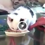 Cucciolo di gatto: «Non toccate la mia pappa» [VIDEO]