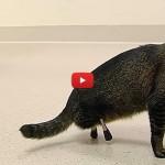 Vincent, il gatto abbandonato adesso si muove con le protesi [VIDEO]