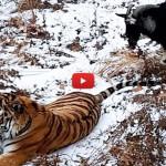 Doveva essere la sua cena, ma tigre e capra diventano amici [VIDEO]