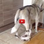 Il gattino ha deciso che l'Husky non deve mangiare [VIDEO]
