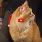 Gatto Babbo Natale litiga con il suo cappellino [VIDEO]