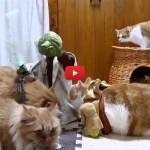 Omaggio a Star Wars: gatti allenati da Yoda [VIDEO]