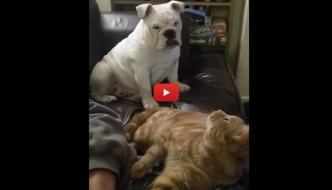 Furgo, il bulldog geloso del gatto Charlie. Le facce sono da Oscar! [VIDEO]