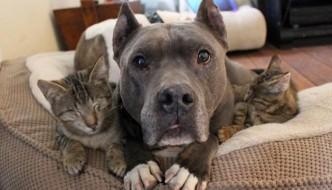 Due Pit Bull fanno da mamme ai tre gattini ciechi
