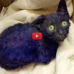Smurf, il gatto usato come giocattolo per i cani da combattimento [VIDEO]