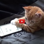 Il gattino che si diverte con le app dello smartphone [VIDEO]