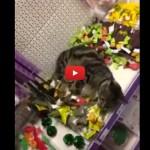 Gatto si perde nel pet-store, ritrovato al reparto giocattoli! [VIDEO]