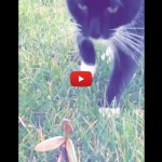 Mantide religiosa mette in fuga gatto [VIDEO]