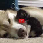 Rosie, la gattina che vive con gli Husky [VIDEO]