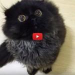 Gimo, il gattino che chiede le coccole con i suoi occhioni grandi [VIDEO]