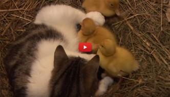 Anatroccoli orfani vengono adottati da mamma gatta [VIDEO]