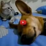 Il cane dorme, il gatto lo attacca nel sonno! [VIDEO]