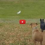 Gatto viene ricorso da due cani, ma riesce incredibilmente a beffarli [VIDEO]