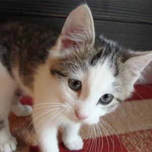 MIAO U2013 Il Miagolio Di Un Gatto Adulto è Usato Quasi Esclusivamente Per  Comunicare Con Gli Esseri Umani, Piuttosto Che Con Altri Gatti.