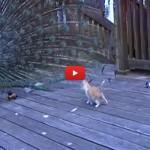 Il pavone si pavoneggia troppo e il gattino non ci sta [VIDEO]