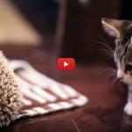 Il tenero incontro tra il gattino Loki e il riccio Harley [VIDEO]