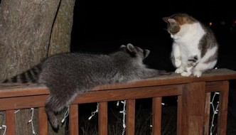 Zizi, il micio che odiava i gatti ma aveva un procione per amico!
