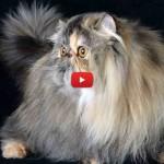 Wittoria, è lei la gatta più bella del modo [VIDEO]