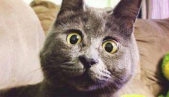 """Kevin, il gatto """"sempre stupito"""", diventa virale sul web"""