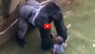 Ucciso un gorilla per salvare un bimbo caduto nel recinto [VIDEO]