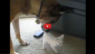Cane soldato va in pensione e incontra il gattino di casa [VIDEO]