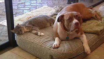Due coyote attaccano la gatta, ma l'amico Pit Bull la salva