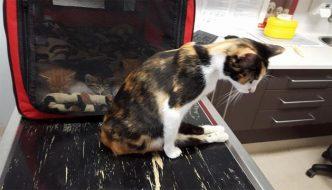 Paralizzata per le botte, mamma gatta si trascina per tornare dai piccoli