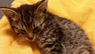 Chestnut, il gattino a rischio paralisi è tornato a camminare