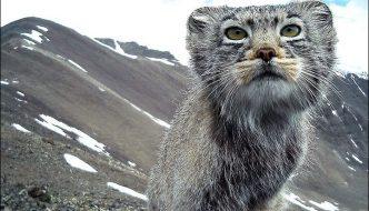 I gatti di Pallas vivranno tutti in una riserva naturale